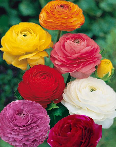 ranunculus mix for sale buy online for 163 1 99