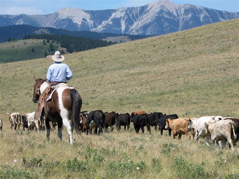 route through florida cattle country you will see miles of cattle experience a frontier cattle drive experience cowboy