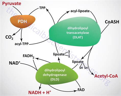 pyruvate oxidation diagram pyruvate dehydrogenase pdh and the tca cycle krebs cycle
