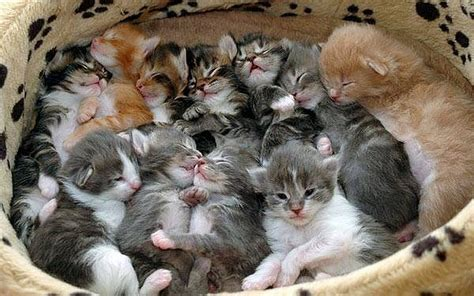 Formula Bayi Kucing Mengatasi Kucing Yang Ditinggal Induknya Omah Kucing