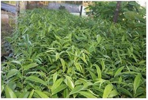 Jual Bibit Cendana India agrobusiness agribusiness jual bibit cendana asli dan