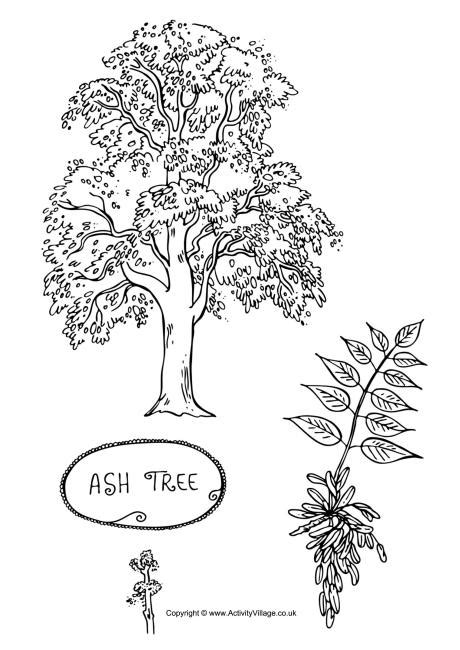 beech tree coloring page ash tree colouring page
