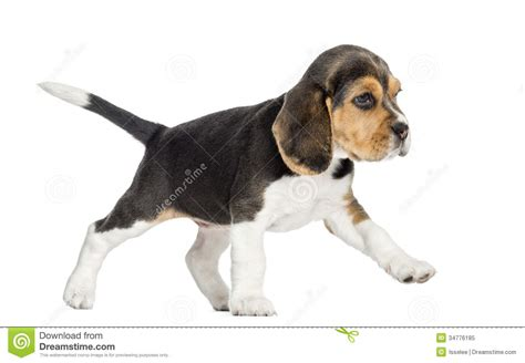 walking puppy side view of a beagle puppy walking isolated stock image image 34776185