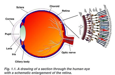 Webvision Simple Anatomy Of The Retina