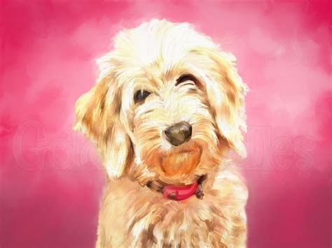 goldendoodle drawing 25 best ideas about goldendoodle on