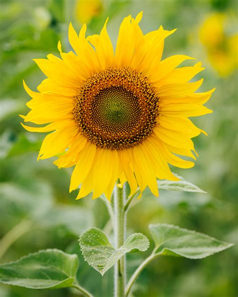 Sunflower Kuaci Bunga Matahari 1000 G flower in half bloom history and meaning of sunflowers steemit