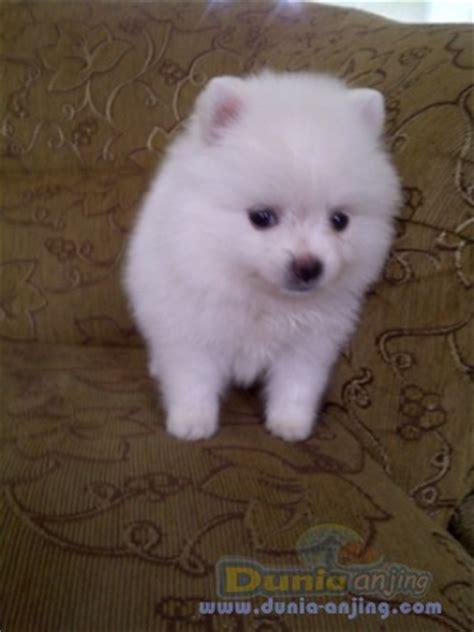 white mini pomeranian dunia anjing jual anjing pomeranian mini pomeranian snow white