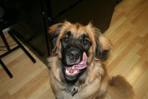 house dog breeds pictures dog breeds large dog breeds pictures gun dog breeds small house dog dog breeds picture