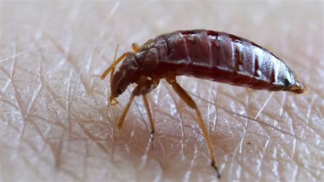 do bed bugs jump like fleas faq can bed bugs jump or fly all about bed bug movement