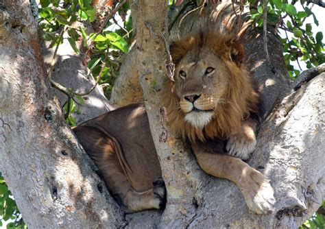 lions home uganda s tree climbing lions spreading beyond habitat