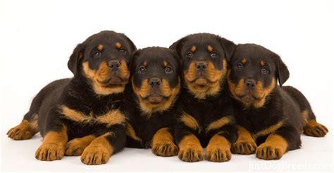breeds similar to rottweiler breed rottweiler