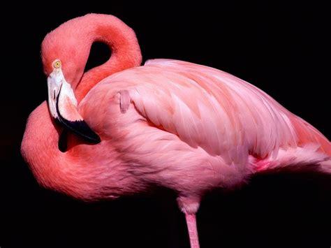 flamingos birds wallpaper pink flamingo close up portrait wallpaper 1280 215 960 birds