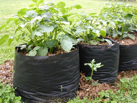 tater totes potato grow bags  steps  pictures