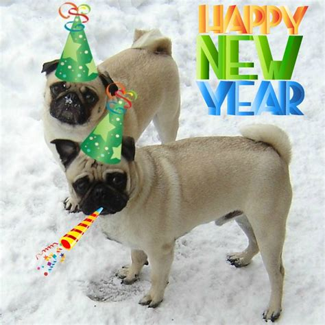 new pug new year celebrations images new year pugs wallpaper and background photos 33725924