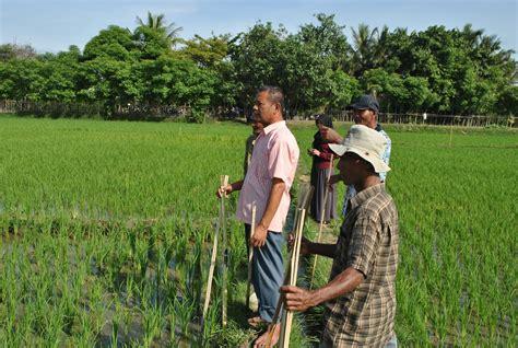 cara mengatasi hama tikus pada tanaman padi pengendalian hama terpadu