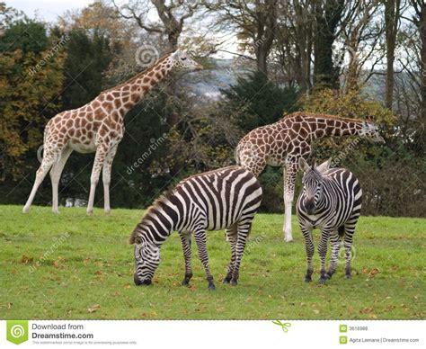 imagenes de jirafas con mensajes jirafas y cebras foto de archivo imagen de giraffe