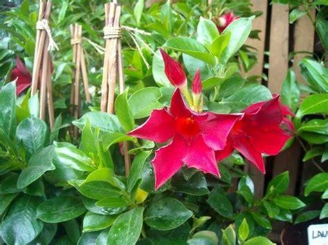 sundaville fiore sundaville ricanti pianta dipladenia