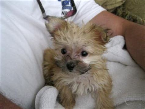 yorkie poodle chihuahua mix chihuahua mixed with maltese yorkie maltese mix puppies bitsy chihuau maltese