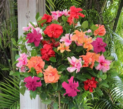 cottage farms braided double flower hibiscus 4 color tree