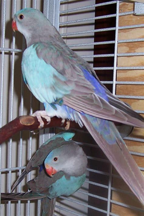Buys A Parakeet by Princess Of Wales Parrots Raised At Royal Wings