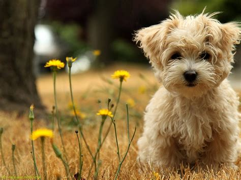 where to get free puppies puppy wallpaper