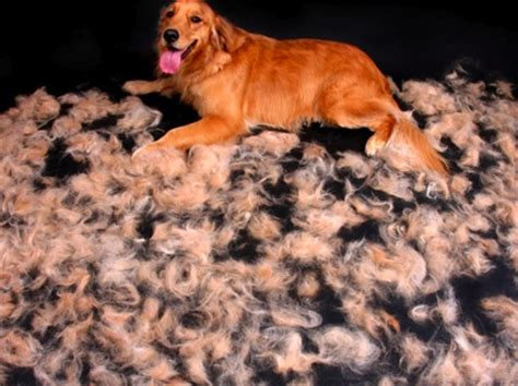 do dogs hair or fur shedding means grooming the flying fur earthbath 174