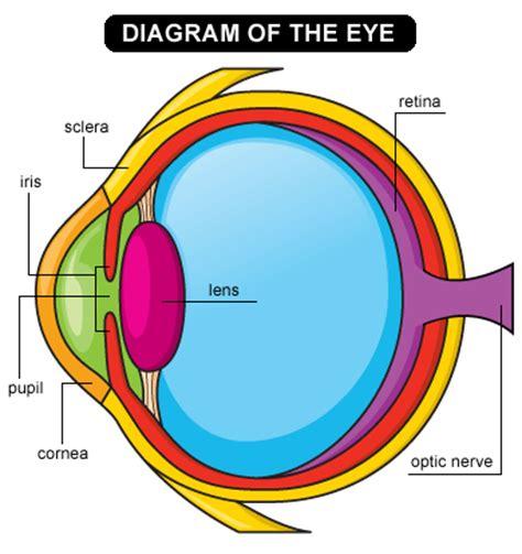 diagram of human eye 29 january 2012 weddell seal polartrec