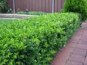 20 korean buxus box plants flowers shrubs hedge pots ebay