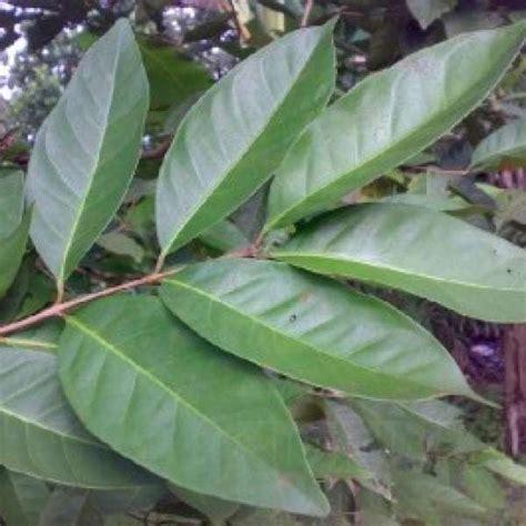 jual bibit unggul tanaman daun salam bibit