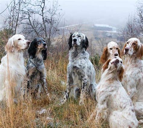 gordon setter therapy dog 79 best english setter love images on pinterest animals