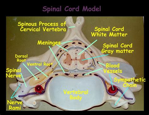 spinal cord cross section model labeled spinal cord cross section model anatomy chart body