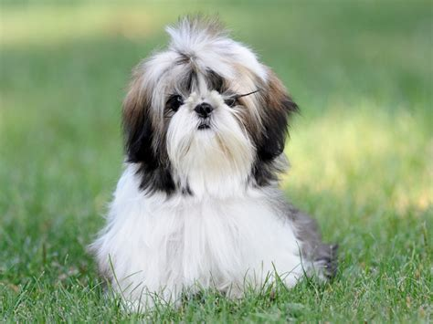 recommended food for shih tzu shih tzu diet 1001doggy