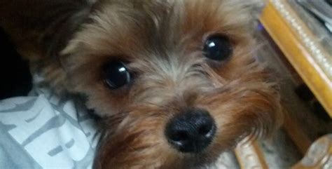 yorkie italian greyhound mix italian greyhound rescue rescue volunteer breeds picture