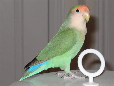 Mainan Anak Burung Parkit Tarik 5 jenis burung peliharaan terbaik bagi keluarga yang