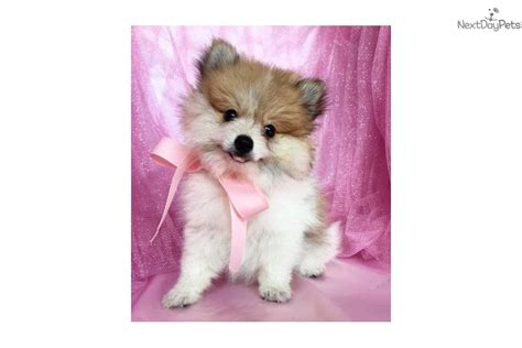teacup pomeranian for sale utah beautiful teacup pomeranian puppies available for adoption breeds picture