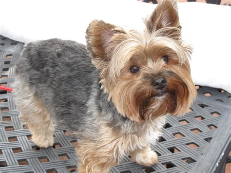 yorkies and yorkie haircuts pictures summer cuts newhairstylesformen2014