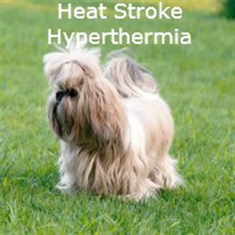 shih tzu heat shih tzu heat stroke what you should about hyperthermia
