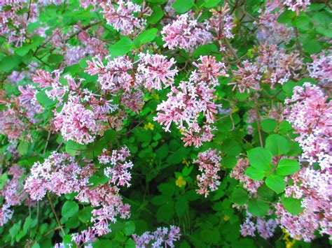 lilac bush dwarf lilac bush varieties www imgkid com the image kid has it