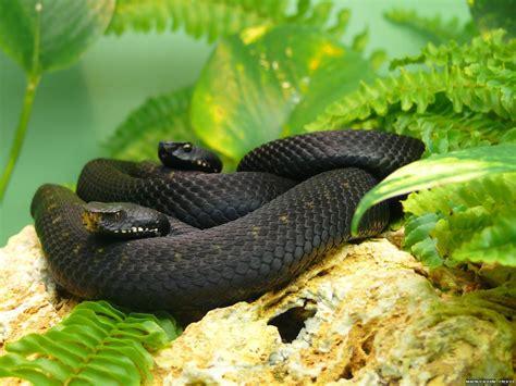 Imágenes De Serpientes Negras | fondo de pantalla serpientes negras hd