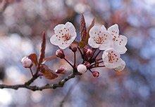 fiori di ciliegio giapponesi fiore di ciliegio