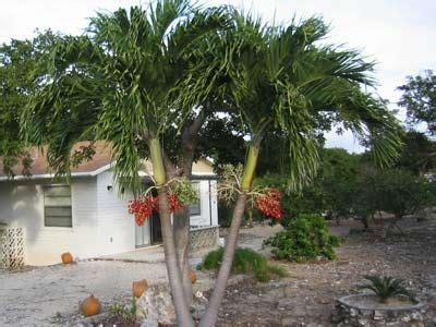 christmas palm tree adonidia merrillii