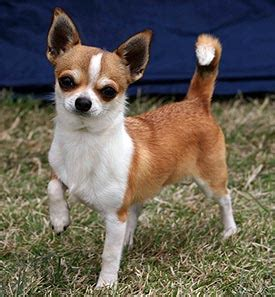 How To Stop Chihuahua From Shedding by How Much Does A Hair Chihuahua Shed