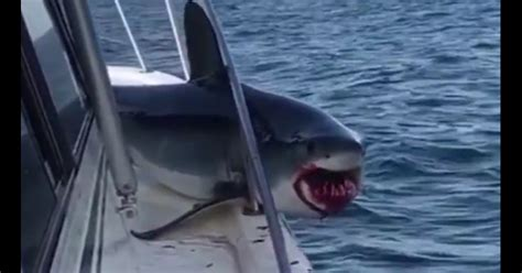 jaws is real a massive shark jumps onto a fishing boat - Jaws Jumps On Boat
