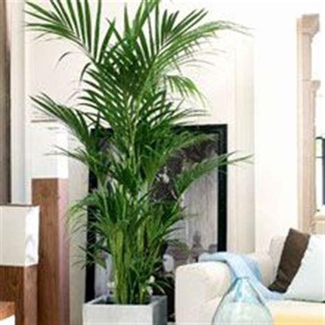 piante da interno alte oltre 25 fantastiche idee su piante da interno su