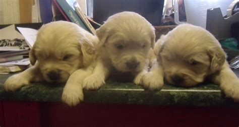 golden retriever puppies indiana for sale golden retrievers for adoption in indiana breeds picture
