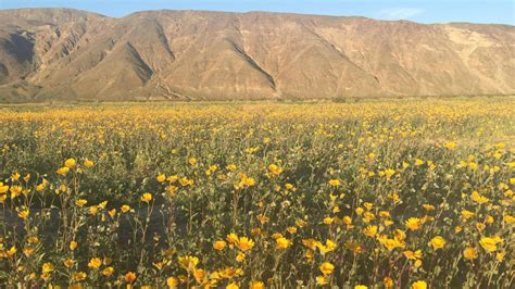 super bloom anza borrego 2017 desert bloom at anza borrego desert state park nbc