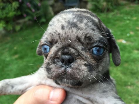 blue pugs 7 hours ago for sale dogs pug uckfield