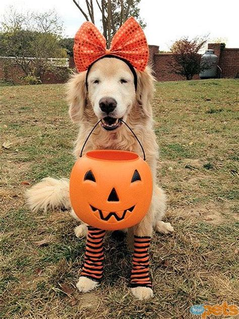 golden retriever tiger costume top 10 golden retriever pups who can t wait to strut their stuff this