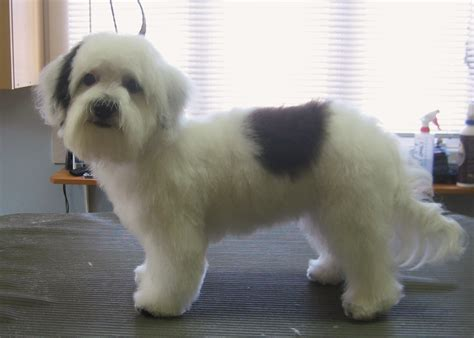 havanese puppy cuts pictures of havanese haircuts breeds picture