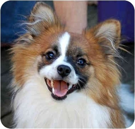 pomeranian mixed with papillon gizmo adopted puppy jacksonville fl papillon pomeranian mix